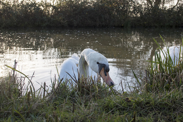 Mute Swan along the Grand Union Canal