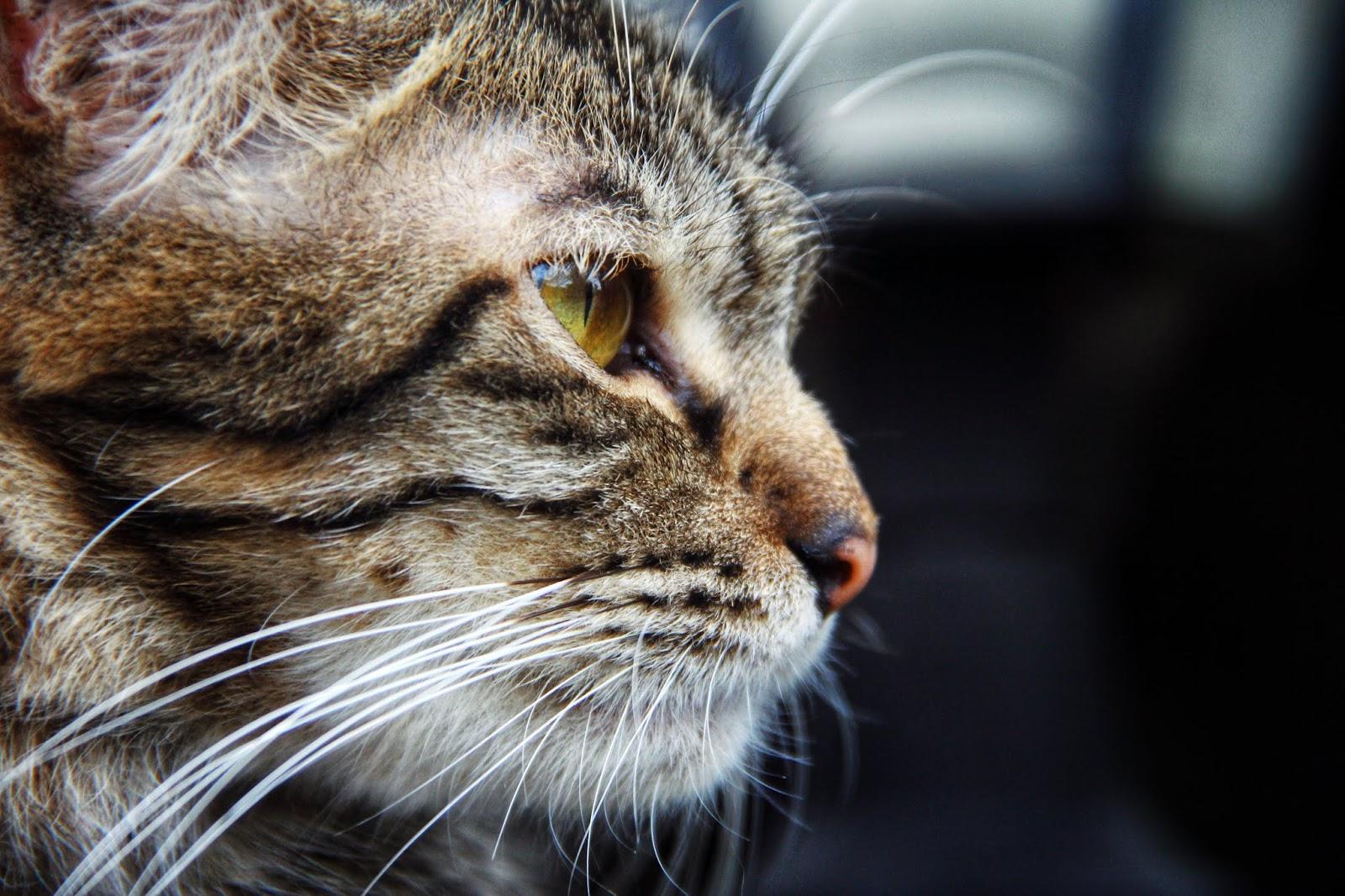 20 Koleksi Gambar Kucing Comel Bernama Tambi 19