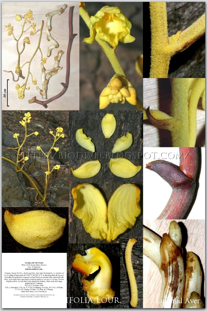 Galeola-nudifolia-5