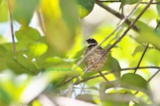 Pied Fantail is nesting  ムナオビオウギビタキ