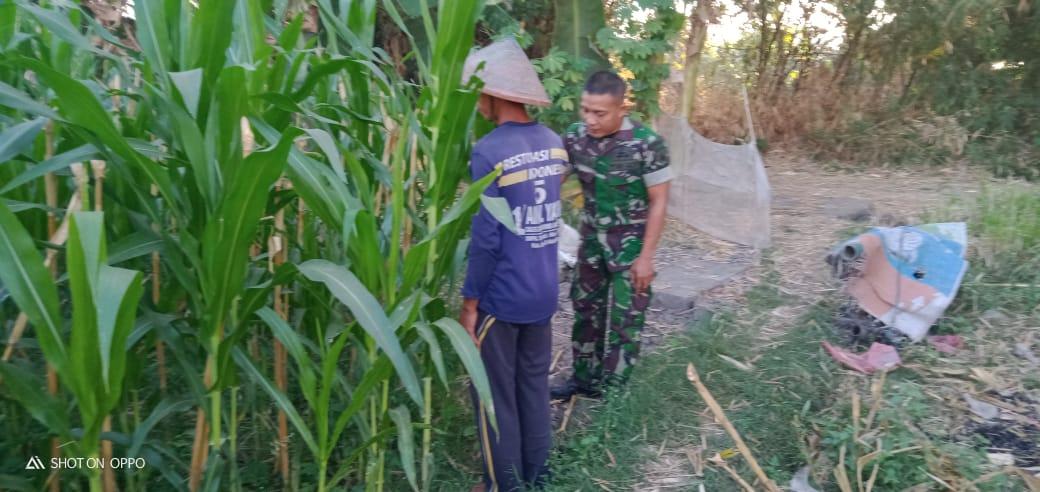 Jaga Kesehatan Tanaman Jagung, Serka Hari Wibowo Dampingi Petani Lakukan Monitoring Tumbuh Kembang
