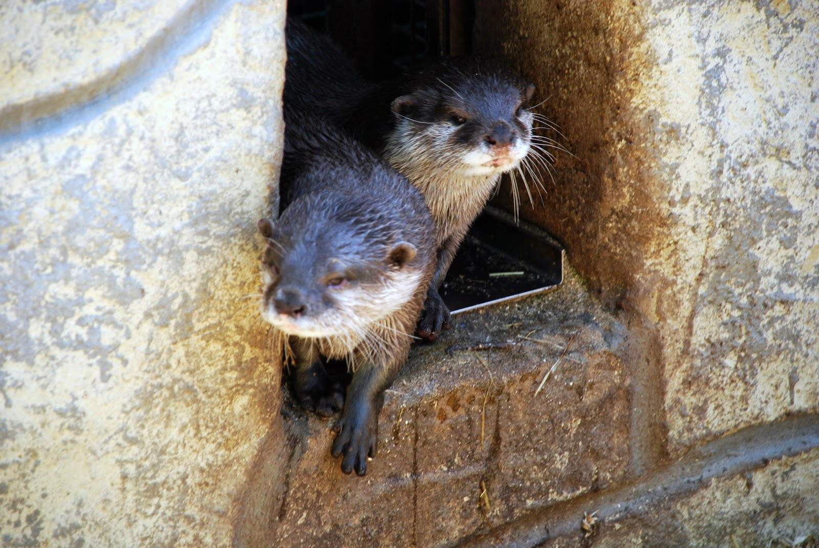 two otters at paradise wildlife park