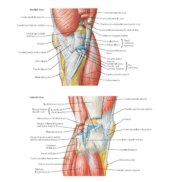 Knee: Medial and Lateral Views Anatomy