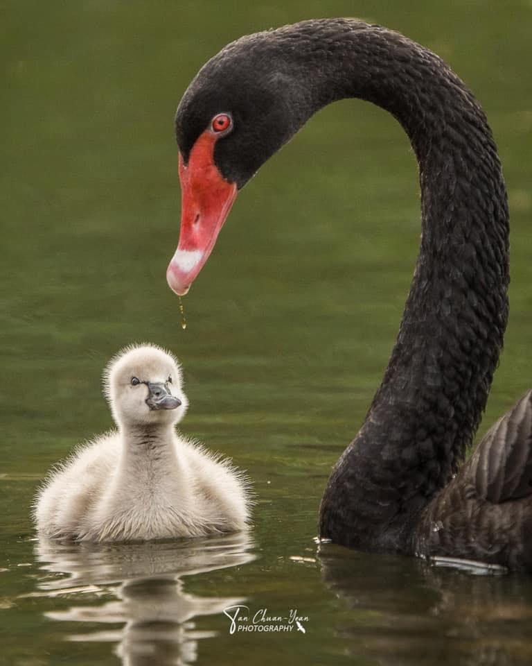 Церный лебедь и его цыпленок