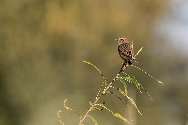 Introducing the Patch - Wild Flower Meadow - Stonechat