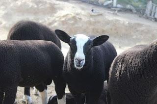 Zwartbles Koyun Irkı