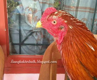 Cara memaksimalkan paruh ayam aduan untuk meningkatkan pukulan