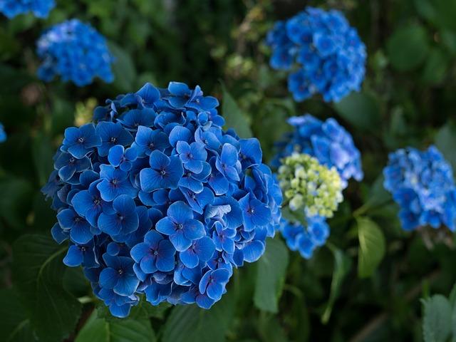 ý nghĩa hoa cẩm tú cầu xanh
