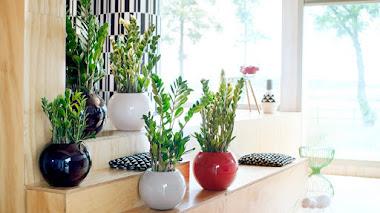 Zamioculcas zamiifolia: mitos y verdades de esta planta tan fácil de cultivar en interiores