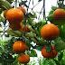 Segera Jeruk Indonesia Siap Bersaing dengan Jeruk Impor