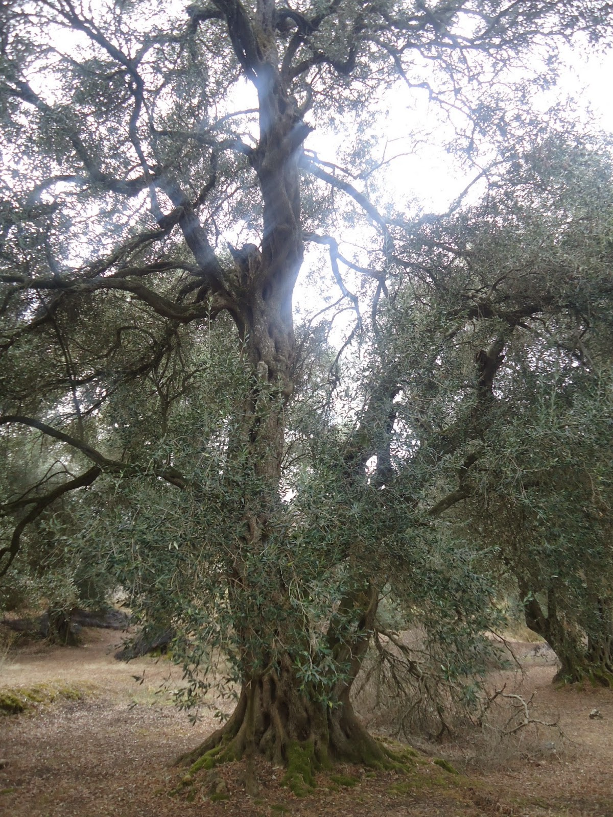 Olive tree Greece Corfu Travel