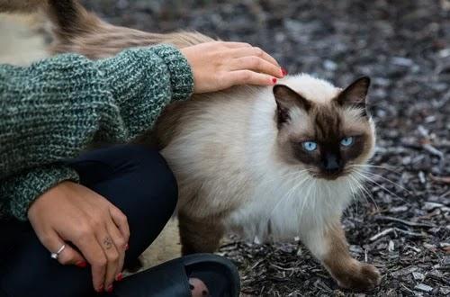 اسعار قطط الهيمالايا 2021
