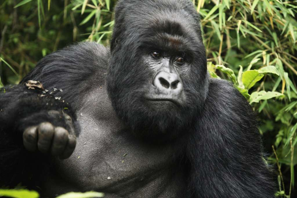 An endangered mountain Silverback Gorilla plays in the forest on Sept. 30, 2006 in the Virunga National Park outside Goma, DRC.