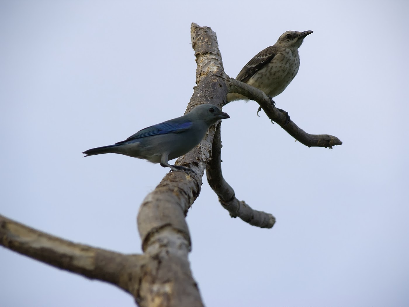 Blue-grey Tanager & Tropical Mockingbird