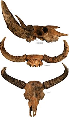 Bison priscus skull