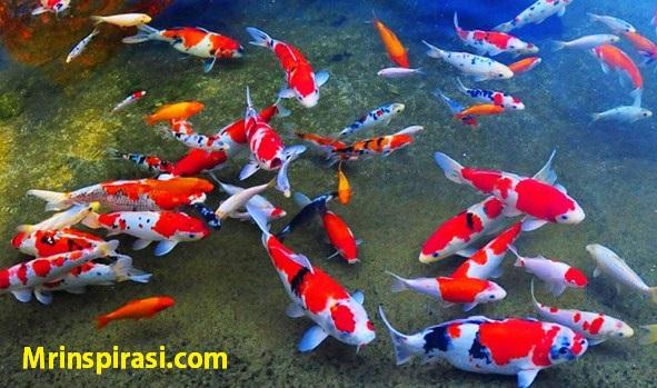 8 Cara Merawat Ikan Koi dan Memilih Ikan Koi yang Sehat dan Kuat