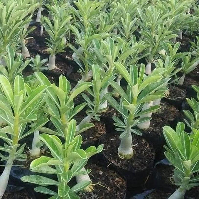 Promo Termurah Adenium Tumpuk Bunga Hias Bonsai Bibit Adenium Bunga Kamboja Jepang Solok