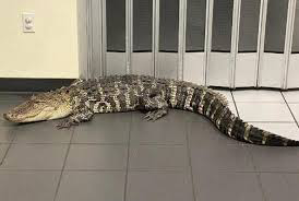 Alligator wanders into Florida post office