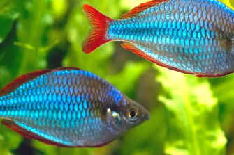 IKAN HIAS NEON RAINBOWFISH