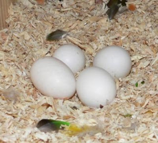 Top Quality Parrots and Fertile Parrot Eggs Available for sale