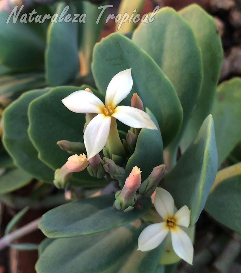 Otra fotografía de las flores de la planta suculenta Kalanchoe prittwitzii