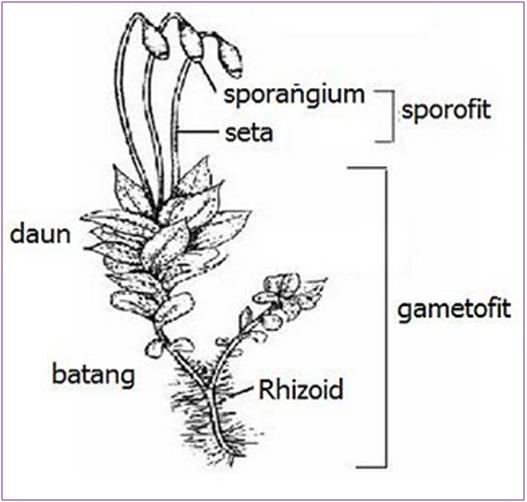 Zone Makalah: Tumbuhan lumut ( Bryophyta )