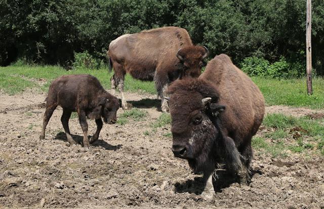 Hunsrück Wildpark Rheinböllen, Bisons