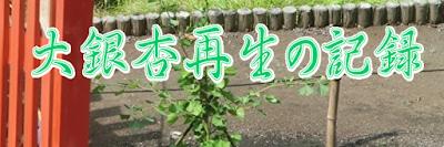 大銀杏再生の記録