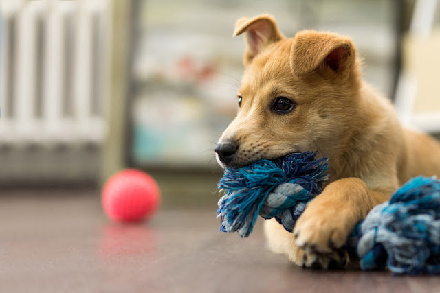 Going to puppy class has benefits for later dog behavior, study shows. Photo shows puppy chewing on rope