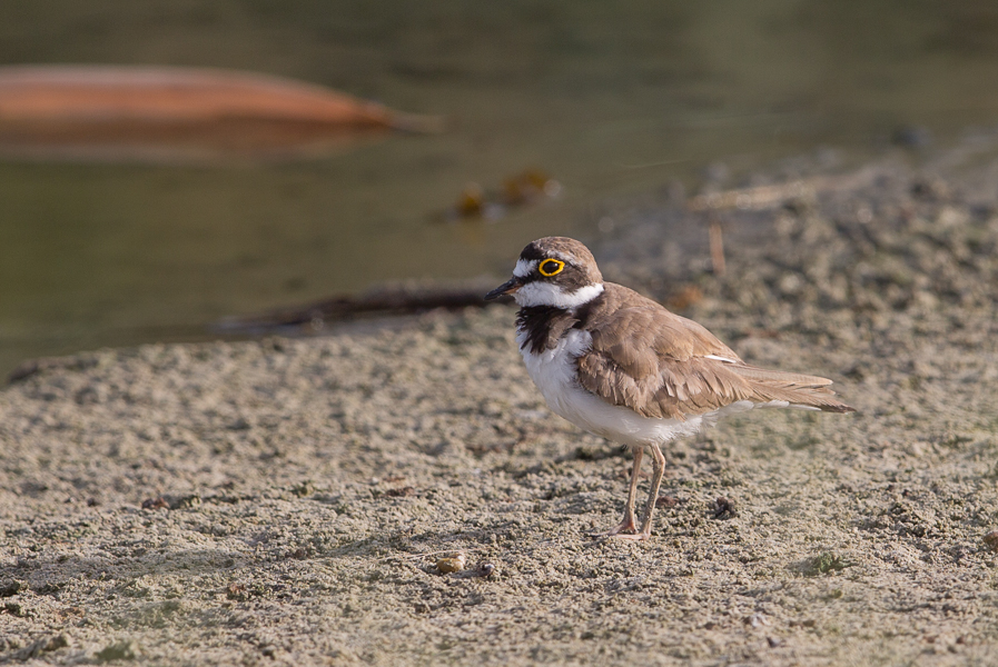 Little Ringed Plover
