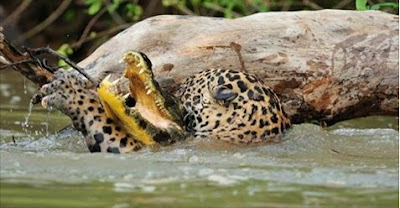 معركة شرسة بين نمر وتمساح فلمن كانت الغلبة؟