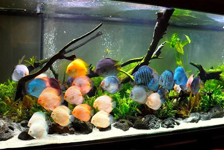 Collection of lovely Discus Tanks |For the love of Angel Fish