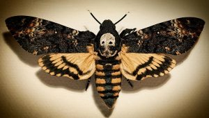 A black and beige moth with markings that look like a skull on the back of its head.Death's Head Moth (Acherontia spp)