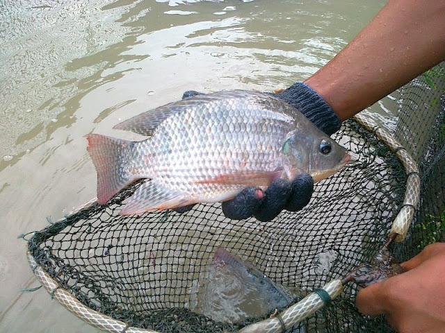 Cara Budidaya Ikan Konsumsi Agar Sukses