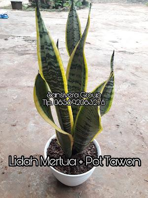 Sansevieria Lidah Mertua