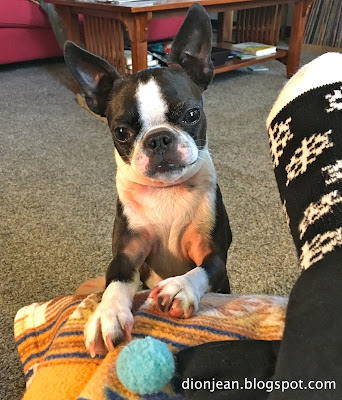 Sinead the Boston terrier and her ball