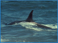 Orca Pictures Orcinus orca