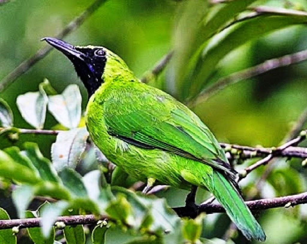 pakan yang tepat untuk burung cucak hijau share the knownledge