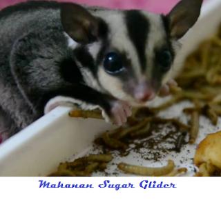 cara merawat sugar glider