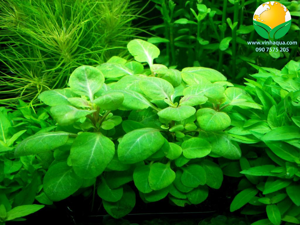Cây hồng ba tiêu trồng hậu cảnh trong bể thủy sinh