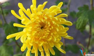 Cúc vàng