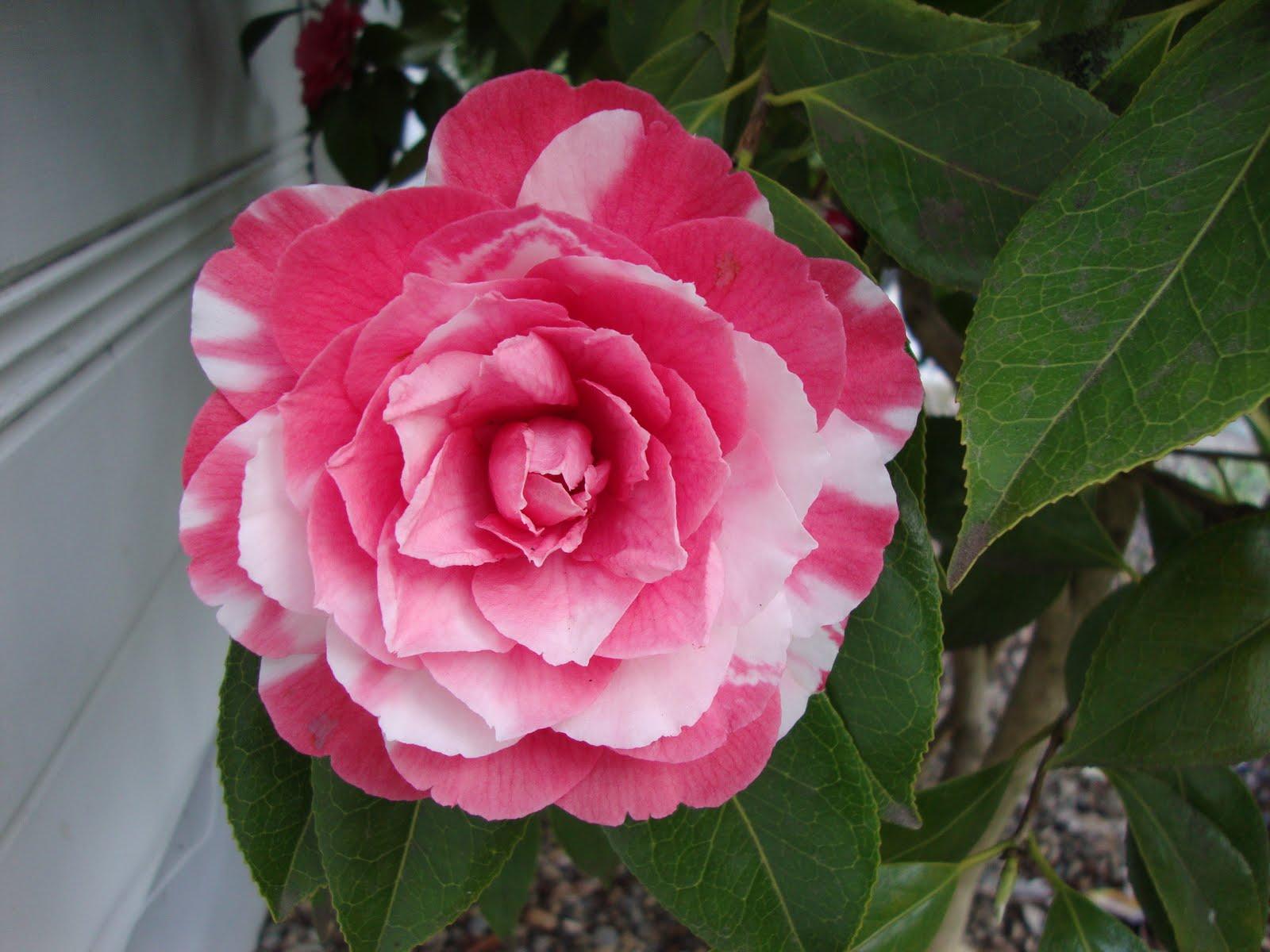 Camellia%2Bbloom%2B2 Camellia As Houseplant on