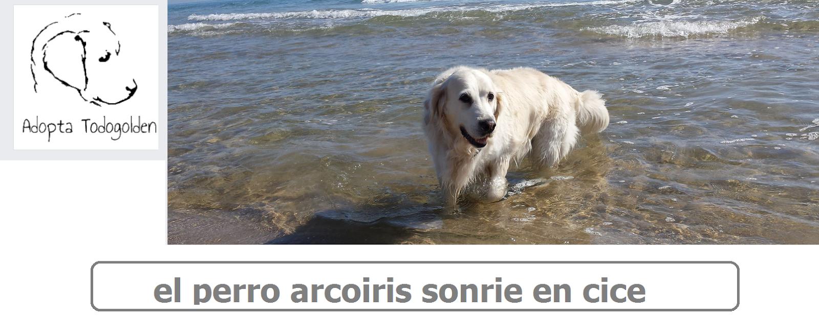 el perro arcoiris que sonrie en cice -goldenretriever