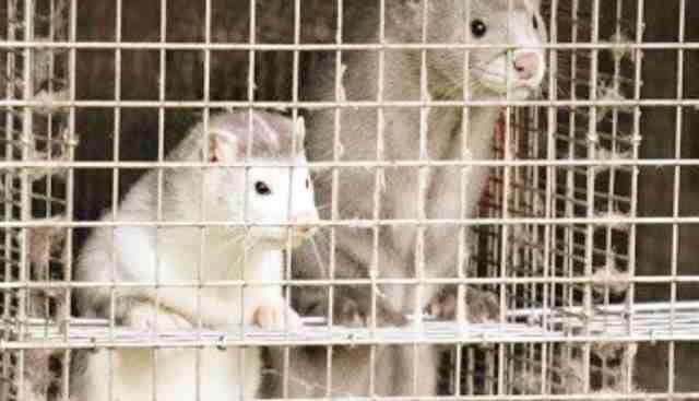 السويد تمنع تربية حيوان المنك