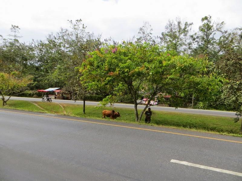 корова у дороги Таиланд