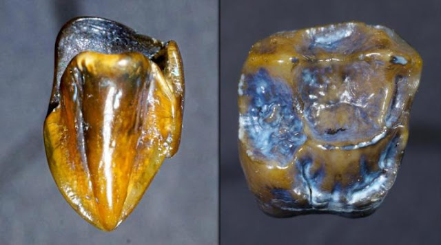 Discovery of 9.7 million year old fossil teeth in Germany could re-write human history