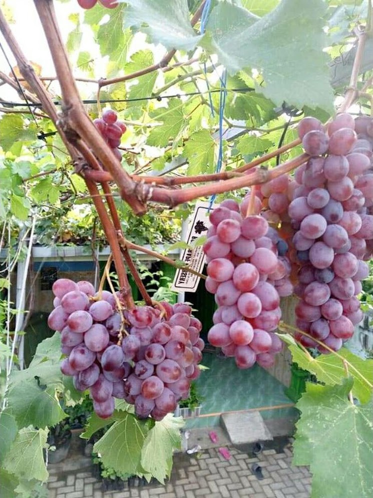 Bibit tanaman anggur ninel super buah manis Sumatra Selatan