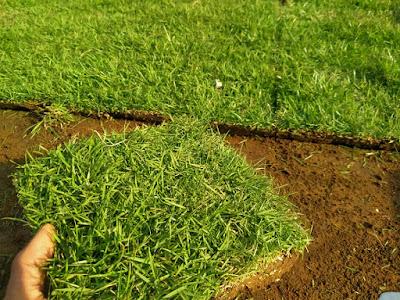 Jenis Rumput Taman jepang mini  Dan Harganya