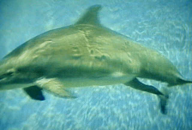 Most Interesting Facts >> Birth Of Dolphin Amazing - Facts Pod
