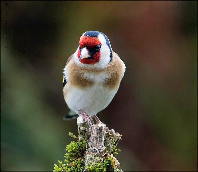 Burung Chardonneret